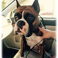 Adopt A Pet :: Bruce - Brentwood, TN