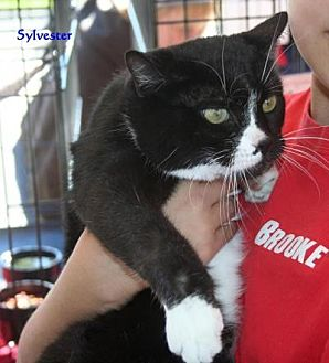Domestic Mediumhair Cat for adoption in Salamanca, New York - Sylvester
