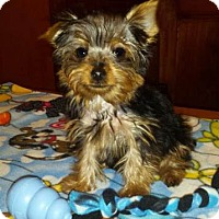 Adopt A Pet :: Porter - Sinking Spring, PA