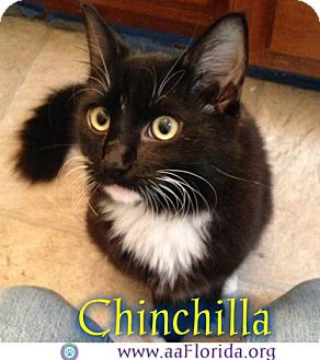 Domestic Mediumhair Cat for adoption in Pensacola, Florida - Chinchilla