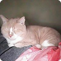 Adopt A Pet :: Ralphie - Plainville, MA