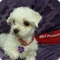 Adopt A Pet :: Ivy - San Dimas, CA