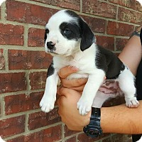 Adopt A Pet :: Baby Poppy - San Antonio, TX