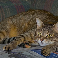 Domestic Shorthair Cat for adoption in Sunderland, Ontario - Glory