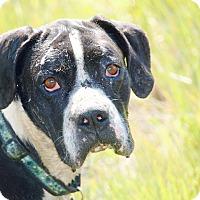 Adopt A Pet :: Bagheera - Reno, NV