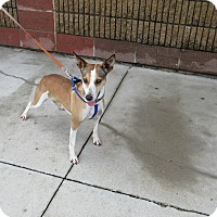 Jack Russell Terrier/Basenji Mix Dog for adoption in Cameron, Missouri - kennedy