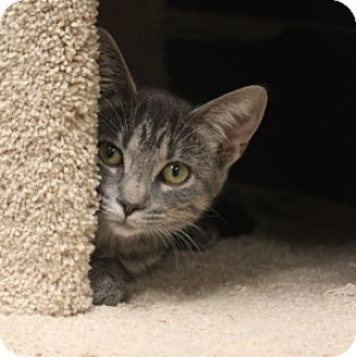 Domestic Shorthair Kitten for adoption in Naperville, Illinois - Sabina