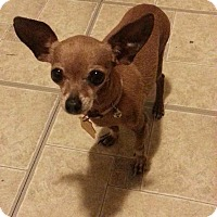 Chihuahua Dog for adoption in Costa Mesa, California - Ralphie