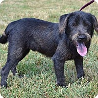 Terrier (Unknown Type, Small) Mix Dog for adoption in Concord, North Carolina - Shadow