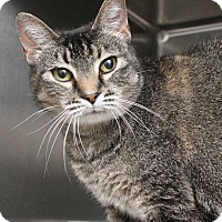 Domestic Shorthair Cat for adoption in Fort Madison, Iowa - Burger