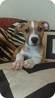 American Pit Bull Terrier Mix Puppy for adoption in Des Moines, Iowa - Hemi