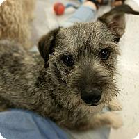 Adopt A Pet :: Ozzie S - Las Vegas, NV