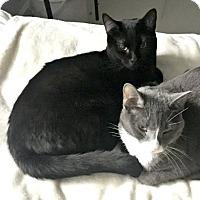 Adopt A Pet :: Marco Polo, adventurous bombay kitten! - Brooklyn, NY