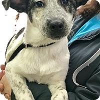 Adopt A Pet :: simon - Pompton Lakes, NJ