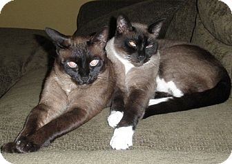 Burmese Cat for adoption in Davis, California - Mocha and Milo