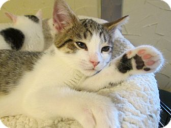 Domestic Shorthair Kitten for adoption in Richland, Michigan - Boris