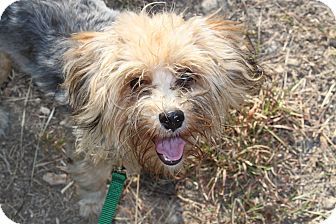 Yorkie, Yorkshire Terrier Mix Dog for adoption in Waldorf, Maryland - Prince