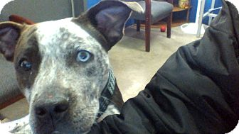 jezabel adopted dog blackwell ok australian