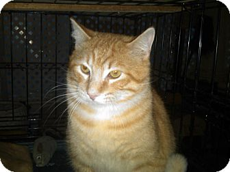 Domestic Shorthair Cat for adoption in Andover, Kansas - Yellow Boy