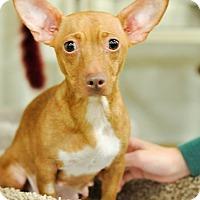Adopt A Pet :: Nenah - Gainesville, FL