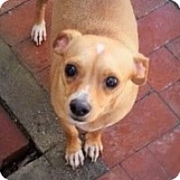Adopt A Pet :: Shorty - Santa Ana, CA