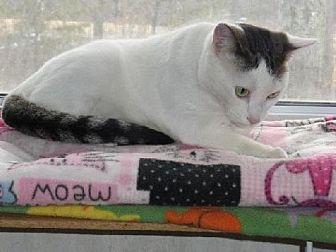 Domestic Shorthair Cat for adoption in Berkeley Springs, West Virginia - April
