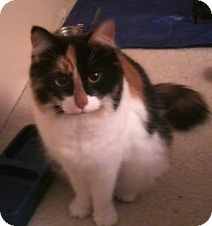 Domestic Mediumhair Cat for adoption in Walnut Creek, California - Trinket