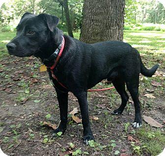 Labrador Retriever Mix Puppy for adoption in Capon Bridge, West Virginia - Milo