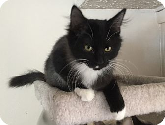 Domestic Mediumhair Cat for adoption in Bayville, New Jersey - Breyer