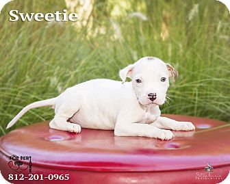 Terrier (Unknown Type, Medium) Mix Puppy for adoption in Terre Haute, Indiana - Sweetie