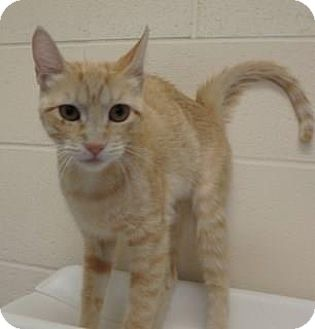 Domestic Shorthair Cat for adoption in Apple Valley, California - Amber #15855