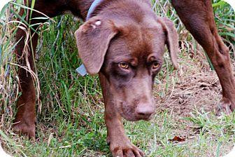 Labrador Retriever Mix Dog for adoption in Salem, West Virginia - Gunner