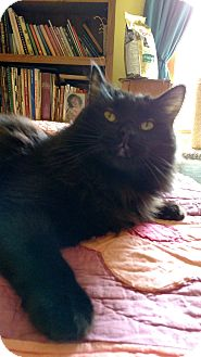 Maine Coon Cat for adoption in Ypsilanti, Michigan - Aslan