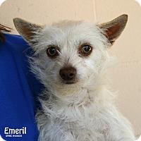 Adopt A Pet :: Emeril - Santa Maria, CA
