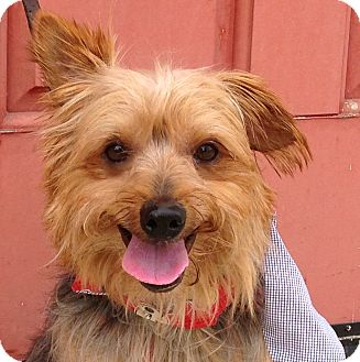 Silky Terrier Mix Dog for adoption in Van Nuys, California - *URGENT* NICKY
