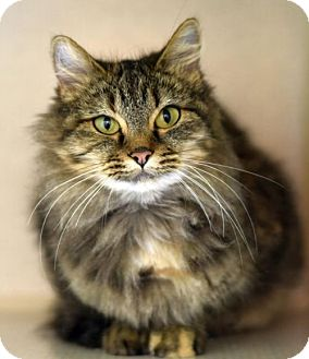 Domestic Mediumhair Cat for adoption in St. Paul, Minnesota - Topeka