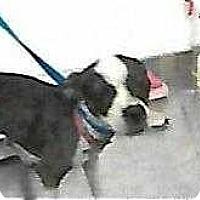 Adopt A Pet :: Pippi - Concord, CA
