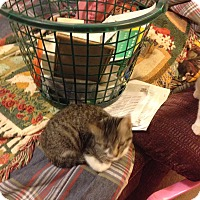 Adopt A Pet :: Amelie - Fowlerville, MI