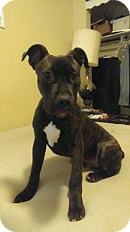 Pit Bull Terrier Mix Puppy for adoption in Baltimore, Maryland - Orion (COURTESY POST)