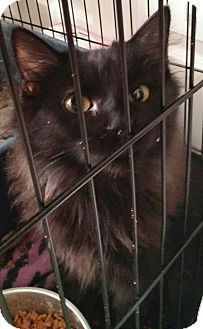 Domestic Longhair Kitten for adoption in Denver, Colorado - Salem