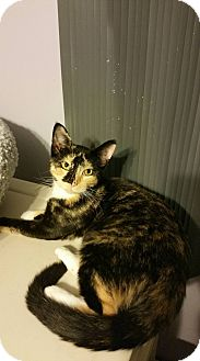 Domestic Shorthair Kitten for adoption in Virginia Beach, Virginia - Kila