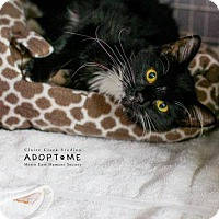 Domestic Mediumhair Cat for adoption in Edwardsville, Illinois - Syrup