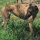 Adopt A Pet :: HL's Mattie