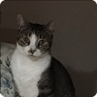 Domestic Shorthair Cat for adoption in Covington, Kentucky - Ferris