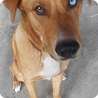 Adopt A Pet :: Teddy - Yucaipa, CA