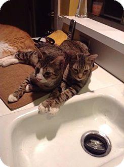 Domestic Mediumhair Kitten for adoption in Jacksonville, Florida - Butch & Sundance