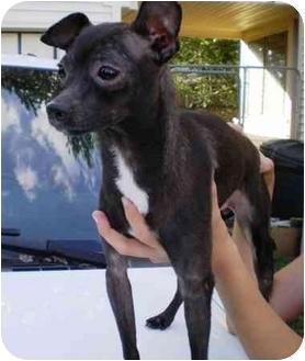 italian greyhound chihuahua - photo #40