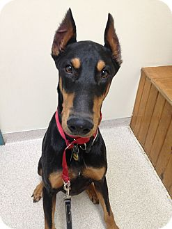 Doberman Pinscher Dog for adoption in New Richmond, Ohio - Drew