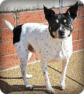 Jack Russell Terrier/Rat Terrier Mix Dog for adoption in Brighton, Tennessee - Spot (GAPR/TN foster)