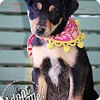 Adopt A Pet :: Nadia - Albany, NY
